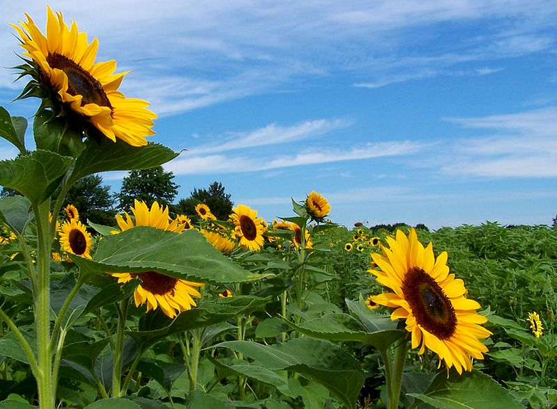 Bigstockphoto_Sunflowers_162918
